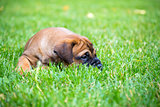 Bullmastiff puppy lying on a lawn