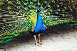 Peacock displaying his plumage