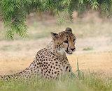 Cheetah (Acinonyx jubatus) Resting
