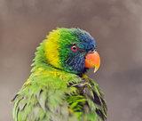 Parrot (Rainbow Lorikeet)