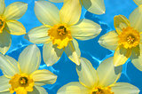 Daffodils in blue water