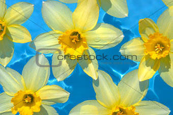 Daffodils in blue water