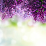 Lilac flowers on green