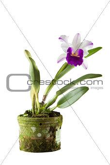 Cattleya orchid in black pot