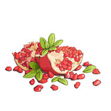 Ripe pomegranates illustration