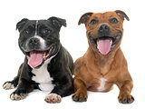 stafforshire bull terriers