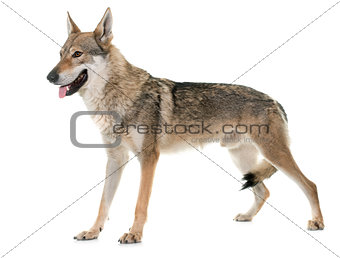 czechoslovakian wolf dog