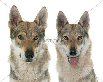 czechoslovakian wolf dogs