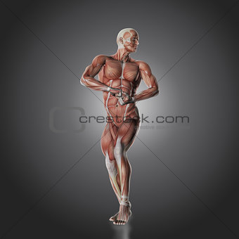 3D male bodybuilder figure with muscle map
