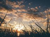Sunset on the wheat field sunbeams glare.