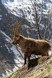 Alpine horned mammal named steinbock or capra ibex in mountain