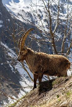 Alpine horned mammal named steinbock or capra ibex in mountain