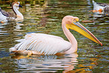 Pelican on the Pond
