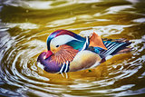 Mandarin Duck on the Water