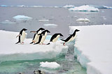 Adelie Penguin on snow