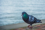 The pigeon and the sea
