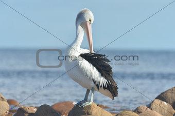 Australican Pelican