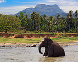 elephant sit in lake water in jungle