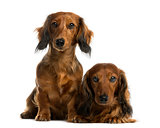Dachshunds in front of a white background
