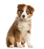 Australian Shepherd puppy sitting in front of a white background