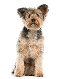 Yorkshire Terrier sitting in front of a white background