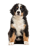 Bernese Mountain Dog puppy sitting in front of a white backgroun
