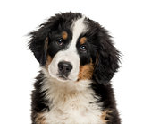 Close-up of a Bernese Mountain Dog puppy in front of a white bac