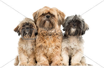 Three Shih Tzu sitting in front of a white background