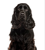 Close-up of a English Cocker spaniel in front of a white backgro