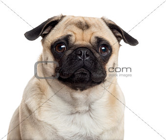 Close up of a Pug isolated on white