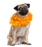 Pug disguised looking at the camera, isolated on white