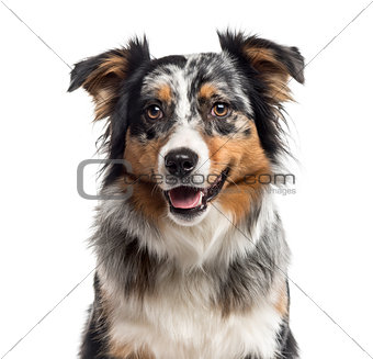 Close up of an Australian Shepherd isolated on white
