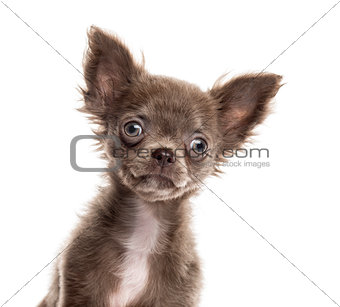 Close up of a Chihuahua puppy isolated on white