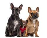 Chihuahua puppy and two French Bulldog isolated on white