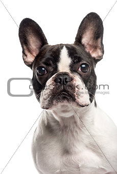 Close up of a French Bulldog, isolated on white