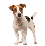 Jack Russell looking at the camera, isolated on white