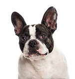 Close up of a French Bulldog isolated on white