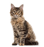 Maine Coon kitten sitting, isolated on white