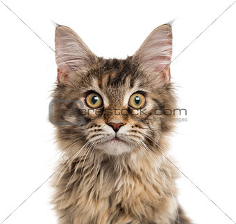 Close up of a Maine Coon kitten isolated on white