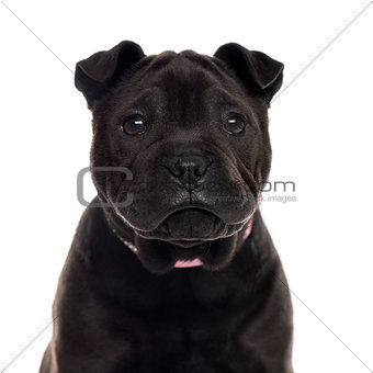 Close up of a Shar Pei puppy isolated on white