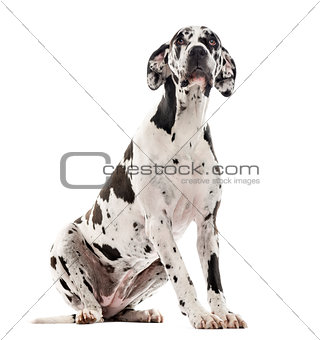 Great Dane sitting and looking up, isolated on white