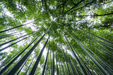 Top of The Arashiyama Bamboo Grove of Kyoto, Japan.