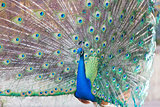 peacock with feathers open