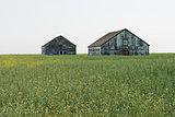 Tall grain