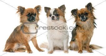 three little chihuahua