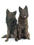 Dutch Long haired shepherds