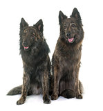 Dutch Long haired shepherds