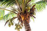 Palm Trees - Perfect palm trees, coconuts on the palma