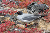swallow-tailed-gull with its chick on Isla Plaza Sur, Galapagos,