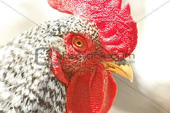 Adult speckled rooster
